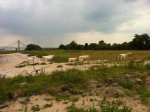 Nu moest ik zelf door een kudde witte koeien...